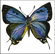 Great Purple Hairstreak Butterfly    - Tile Mural