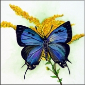 Purple Hairstreak Butterfly on Goldenrod    - Tile Mural