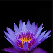 Violet Lotus Passion - Tile Mural