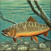Brook Trout - CF - Accent Tile