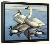 Swans and Goldeneyes-CF-Canvas Art Print