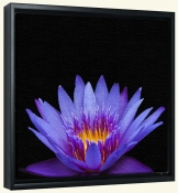Violet Lotus Passion-Canvas Art Print